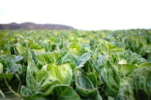 春野菜の栄養の特徴