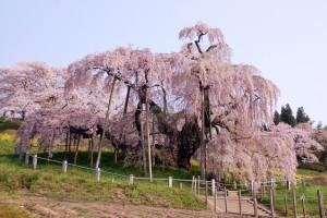 三春の滝桜の見ごろ