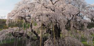 福島の桜の見頃は?2015年最新版
