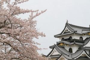 2015年、彦根城の桜の開花状況