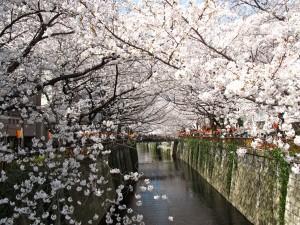 関東で花見の見ごろ