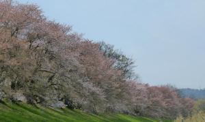 淀川河川公園背割堤地区の桜!2015年