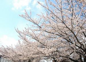 岡崎公園の桜2015