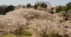 万博記念公園の桜2015