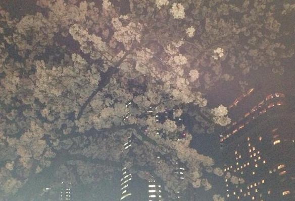 2015年毛馬桜之宮公園 の桜
