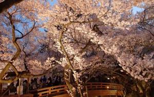 高遠桜まつり2015年