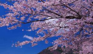 2015年の吉野の桜