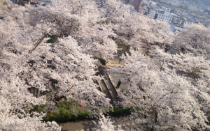 津山城の桜2015