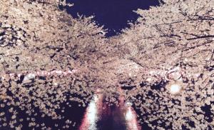 目黒川の桜!2015