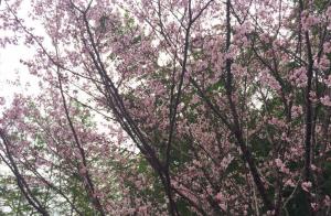 京都の桜!2015年の見ごろ