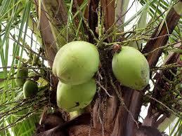 ココナッツオイルの効能と副作用について